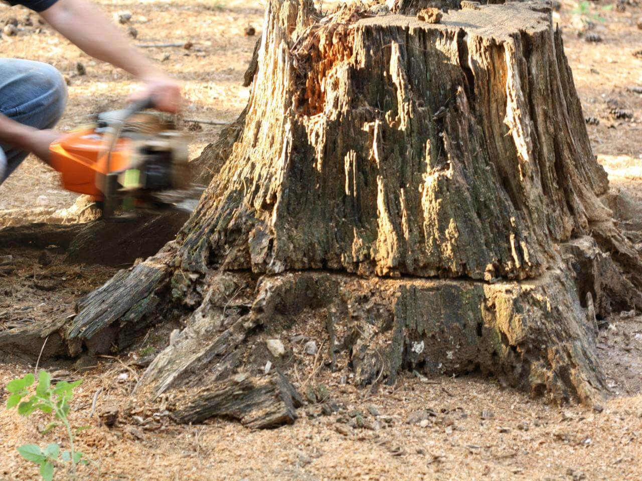 Stump Removal-Dayton Tree Trimming and Stump Grinding Services-We Offer Tree Trimming Services, Tree Removal, Tree Pruning, Tree Cutting, Residential and Commercial Tree Trimming Services, Storm Damage, Emergency Tree Removal, Land Clearing, Tree Companies, Tree Care Service, Stump Grinding, and we're the Best Tree Trimming Company Near You Guaranteed!